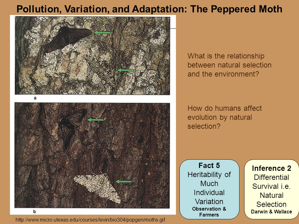 Pollution, Variation, and Adaptation: The Peppered Moth