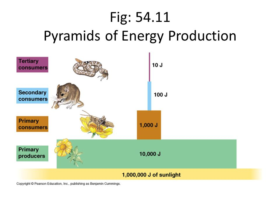 Fig: Pyramids of Energy Production