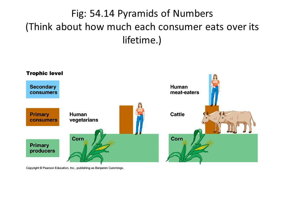 Fig: Pyramids of Numbers (Think about how much each consumer eats over its lifetime.)