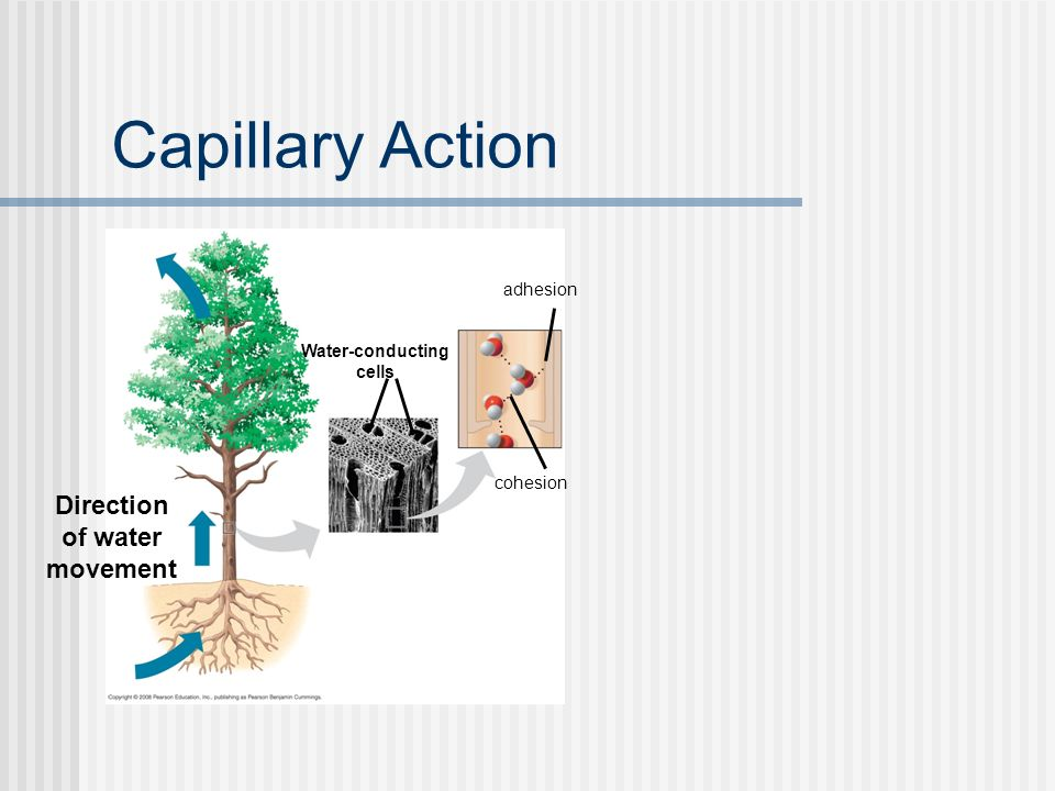 Capillary Action Direction of water movement adhesion Water-conducting