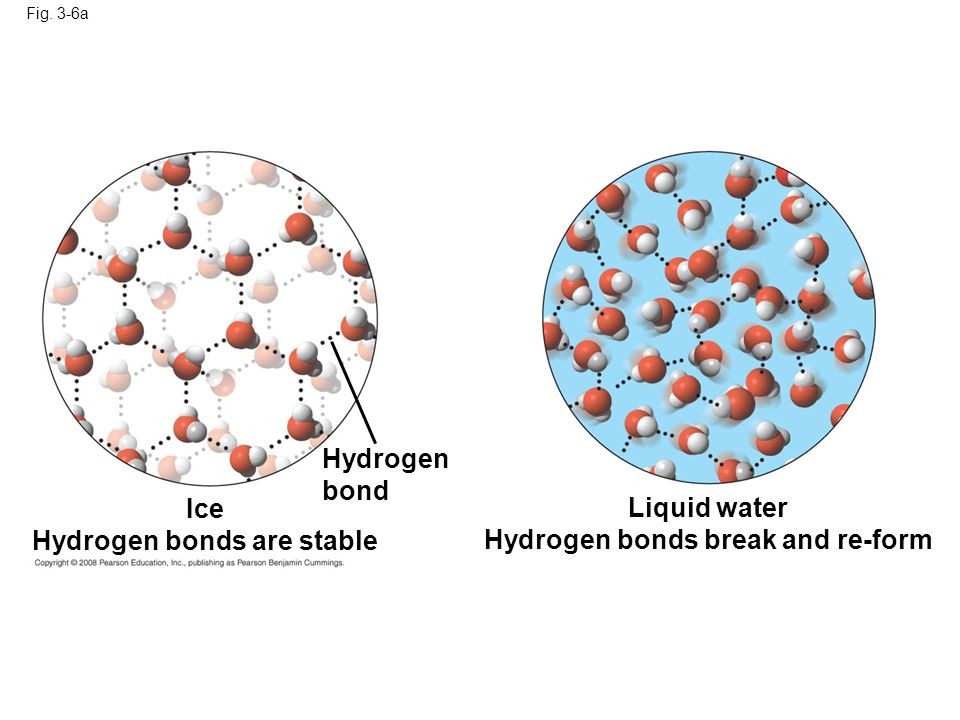 Hydrogen bonds are stable Hydrogen bonds break and re-form