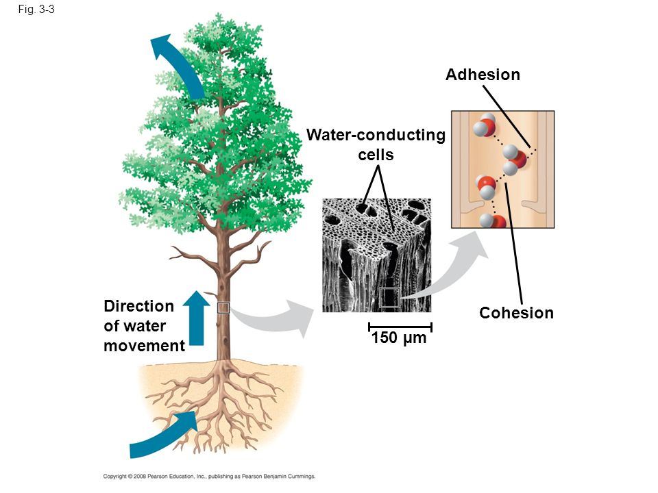 Adhesion Water-conducting cells Cohesion 150 µm