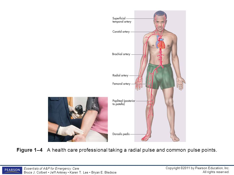 Figure 1–4 A health care professional taking a radial pulse and common pulse points.