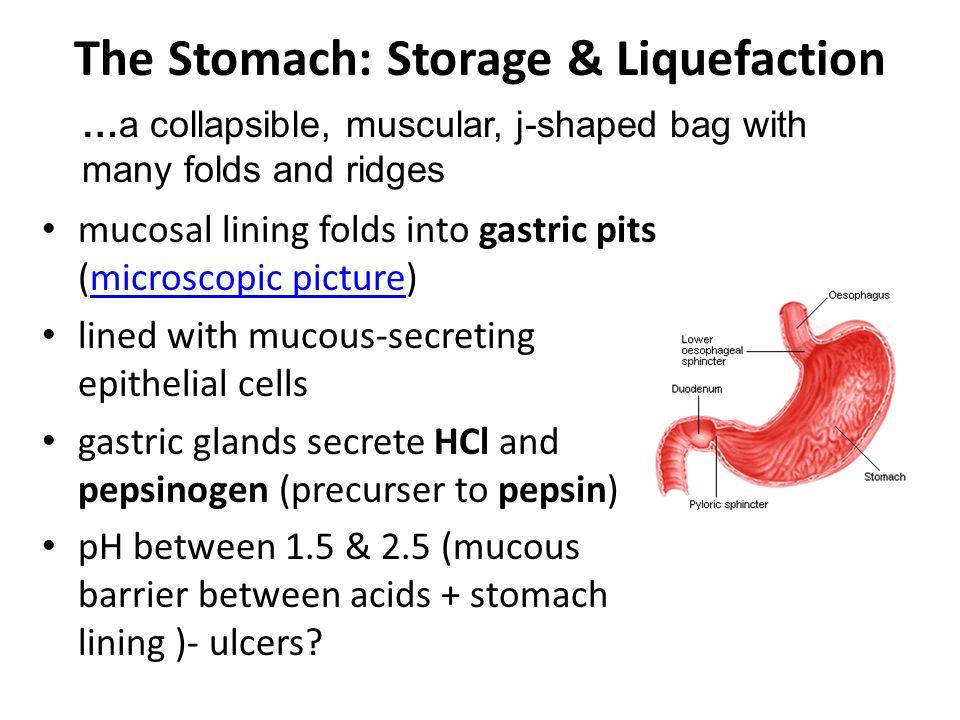 The Stomach: Storage & Liquefaction
