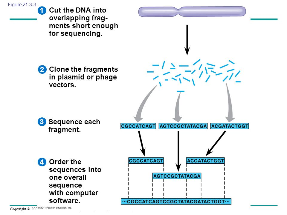 Cut the DNA into overlapping frag- ments short enough for sequencing.