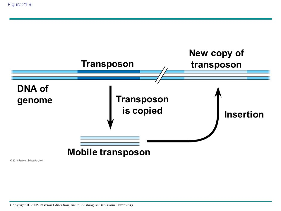 New copy of transposon Transposon is copied