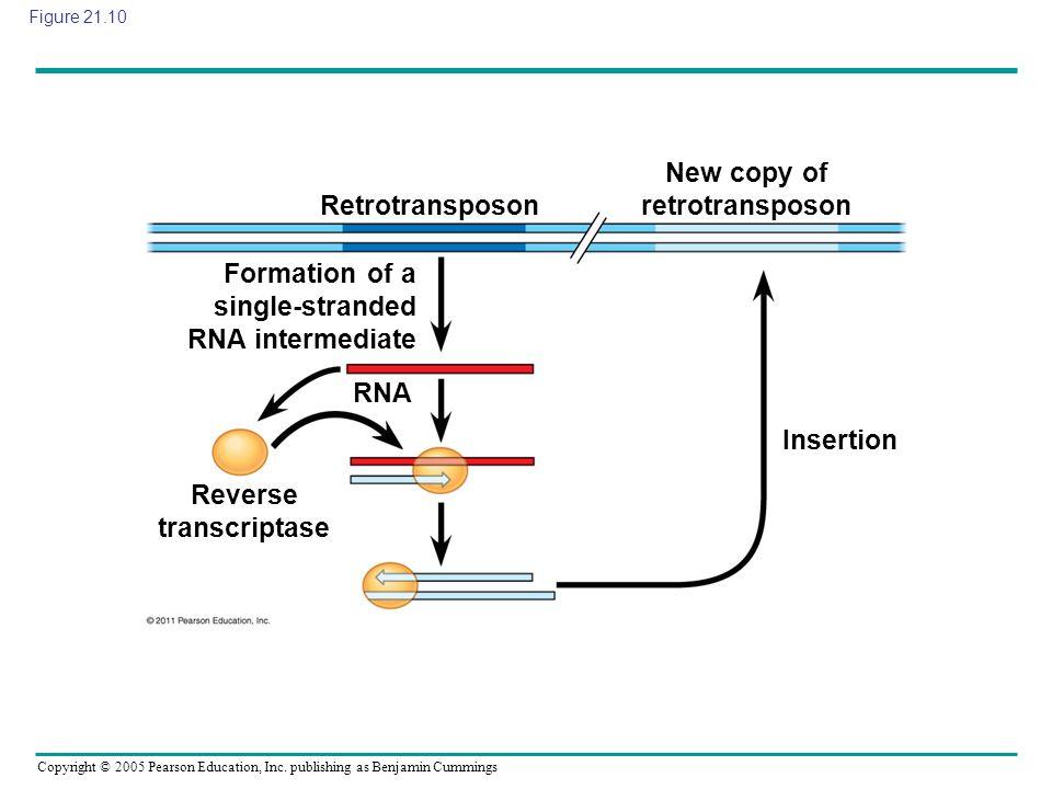 New copy of retrotransposon Reverse transcriptase