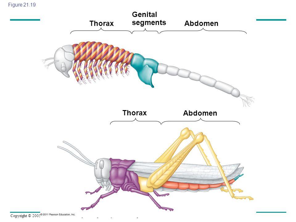 Genital segments Thorax Abdomen Thorax Abdomen Figure 21.19
