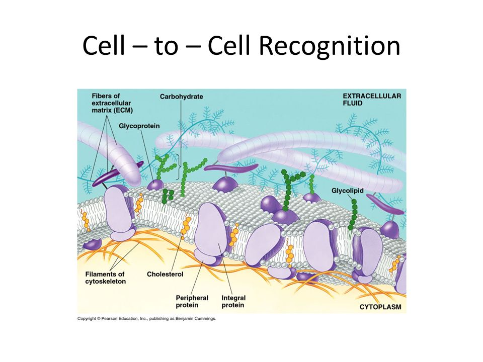 Cell – to – Cell Recognition