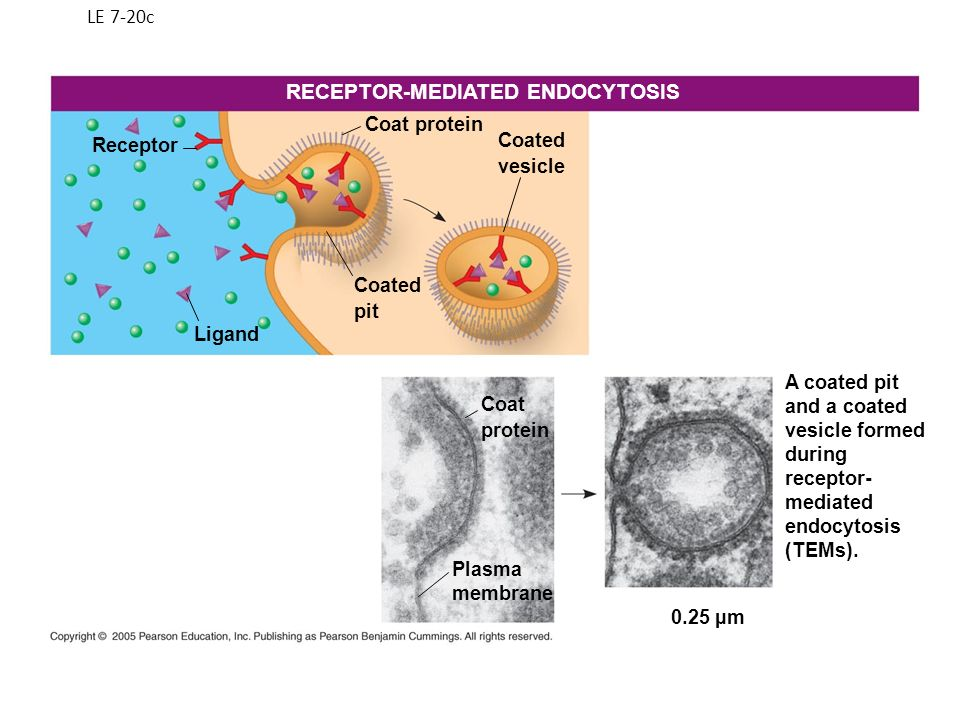 RECEPTOR-MEDIATED ENDOCYTOSIS