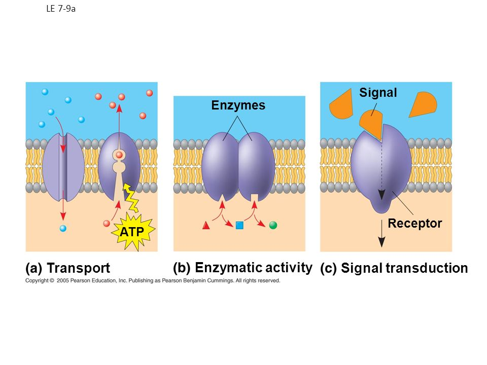 Transport Enzymatic activity Signal transduction Signal Enzymes