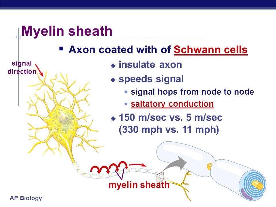 Myelin sheath Axon coated with of Schwann cells insulate axon
