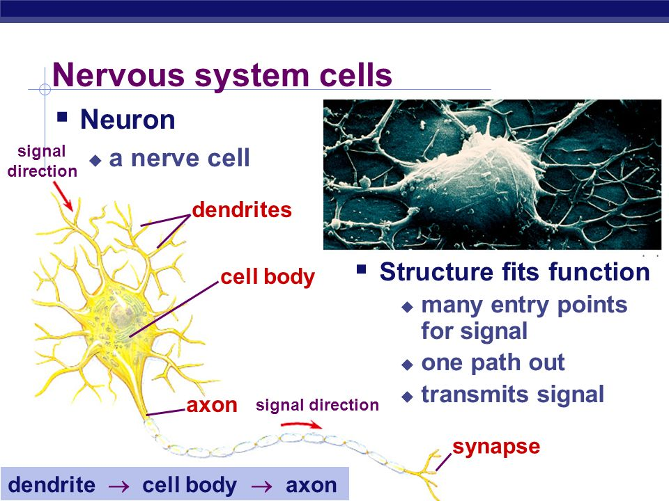 Nervous system cells Neuron a nerve cell Structure fits function