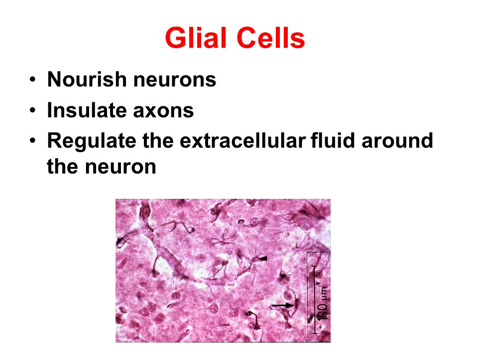 Glial Cells Nourish neurons Insulate axons