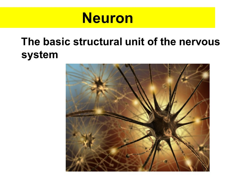 Neuron The basic structural unit of the nervous system