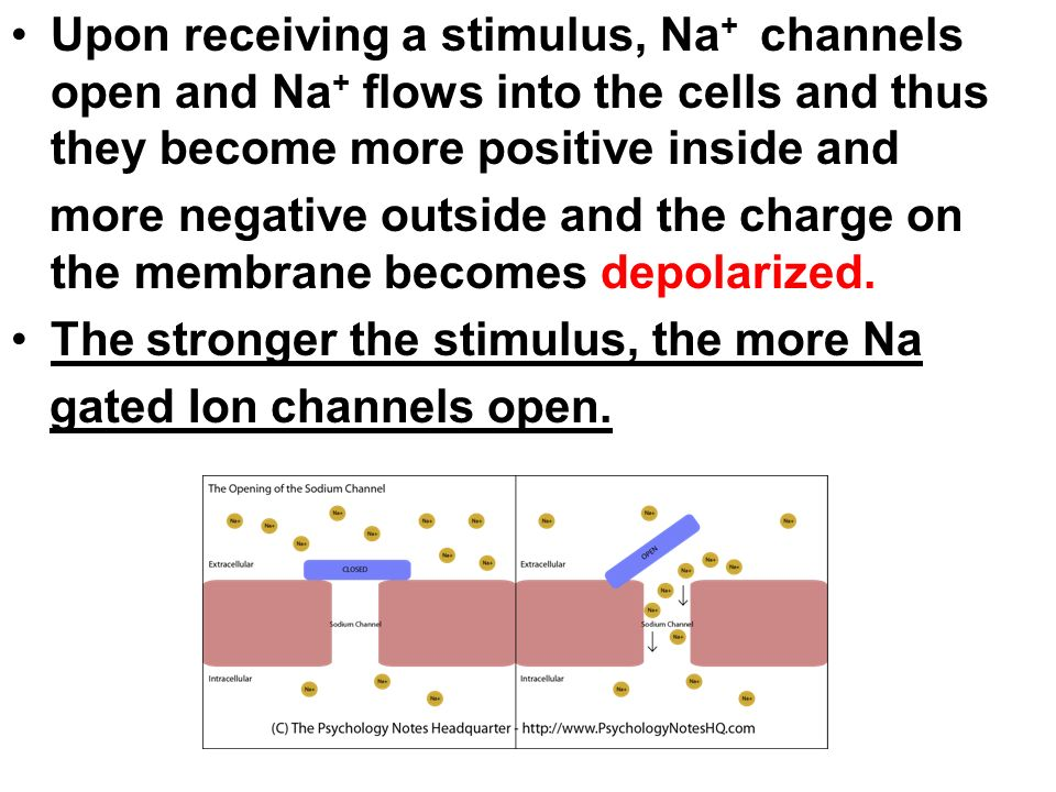 Upon receiving a stimulus, Na+ channels open and Na+ flows into the cells and thus they become more positive inside and