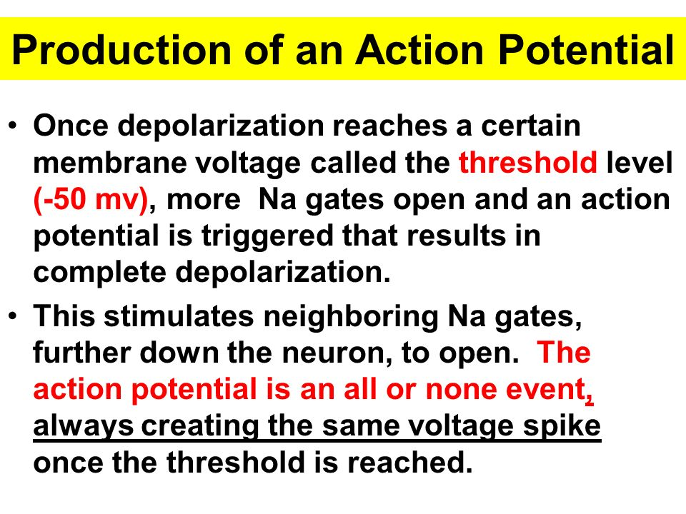 Production of an Action Potential