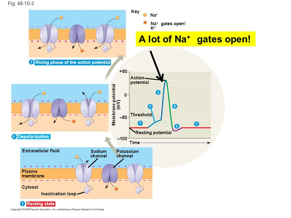 A lot of Na+ gates open! Fig. 48-10-3 Key Na+ Na+ gates open! K+