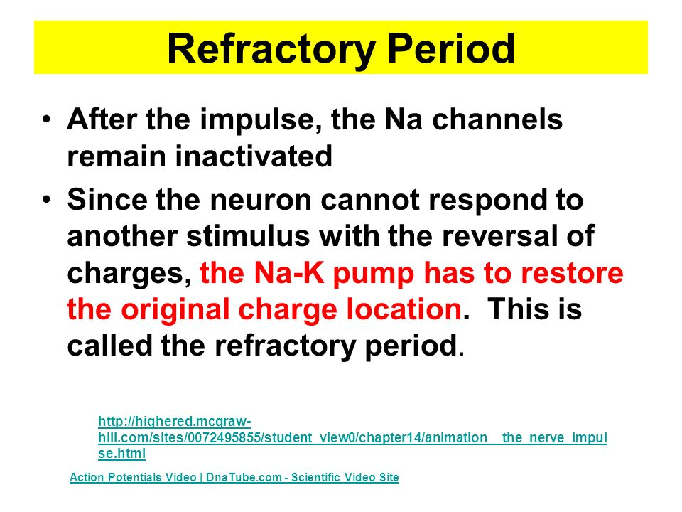 Refractory Period After the impulse, the Na channels remain inactivated.