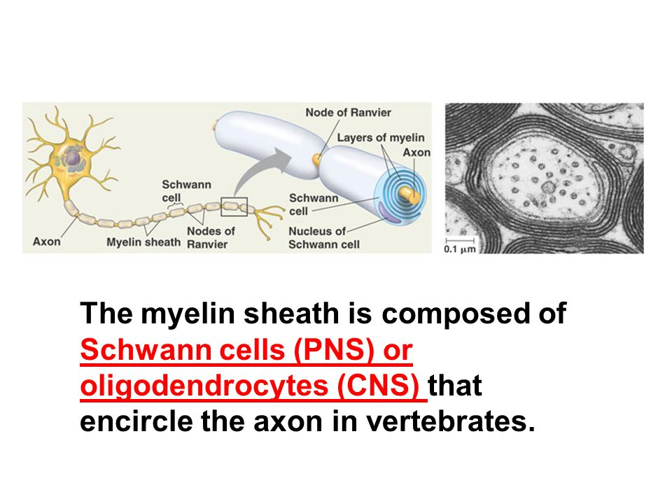 The myelin sheath is composed of Schwann cells (PNS) or oligodendrocytes (CNS) that encircle the axon in vertebrates.