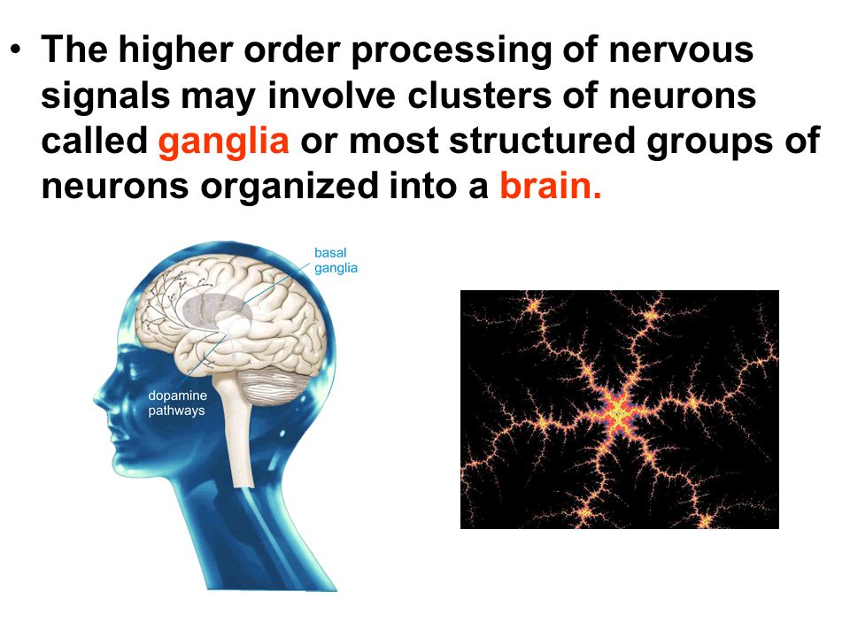 The higher order processing of nervous signals may involve clusters of neurons called ganglia or most structured groups of neurons organized into a brain.