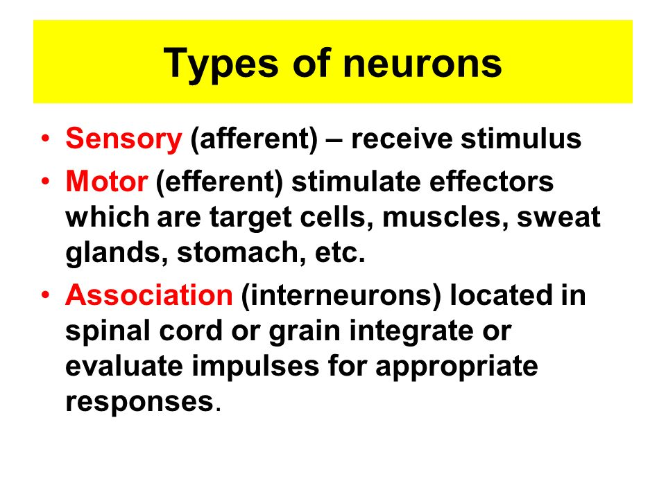 Types of neurons Sensory (afferent) – receive stimulus