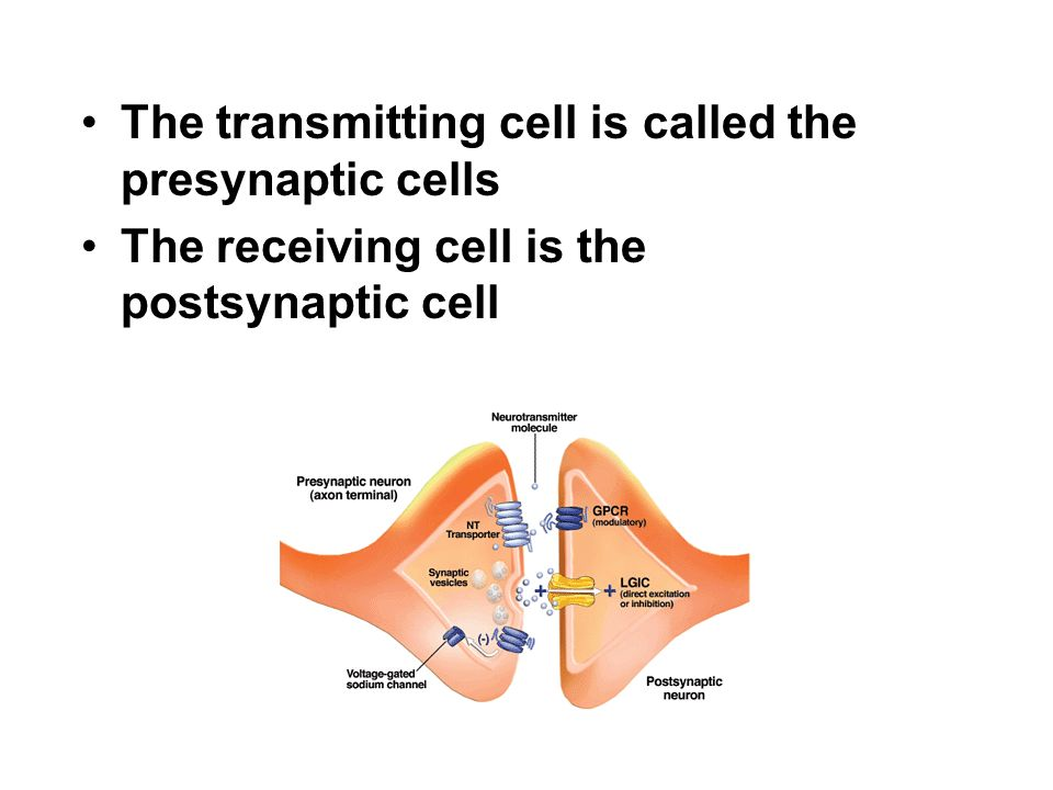 The transmitting cell is called the presynaptic cells
