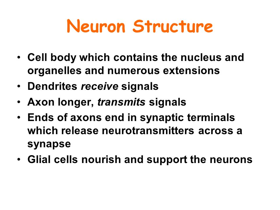 Neuron Structure Cell body which contains the nucleus and organelles and numerous extensions. Dendrites receive signals.