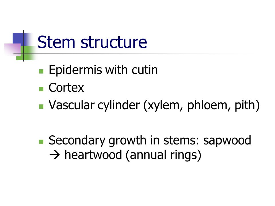 Stem structure Epidermis with cutin Cortex