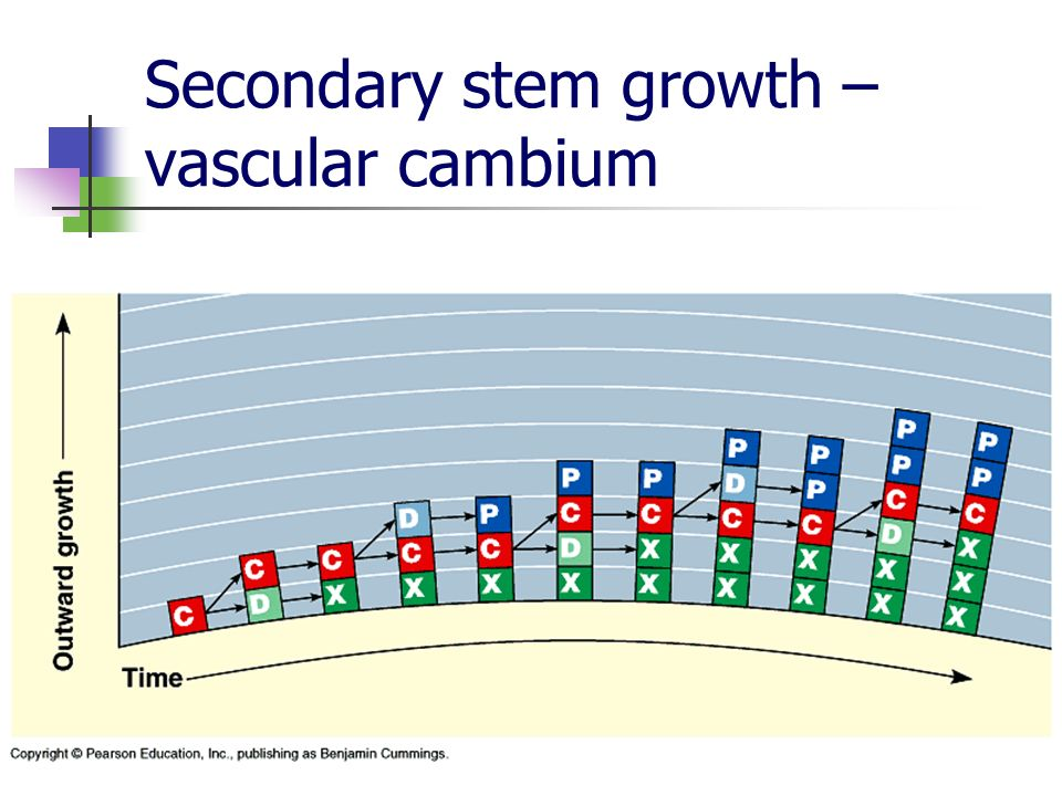 Secondary stem growth – vascular cambium