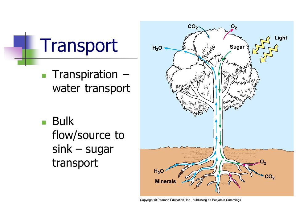 Transport Transpiration – water transport