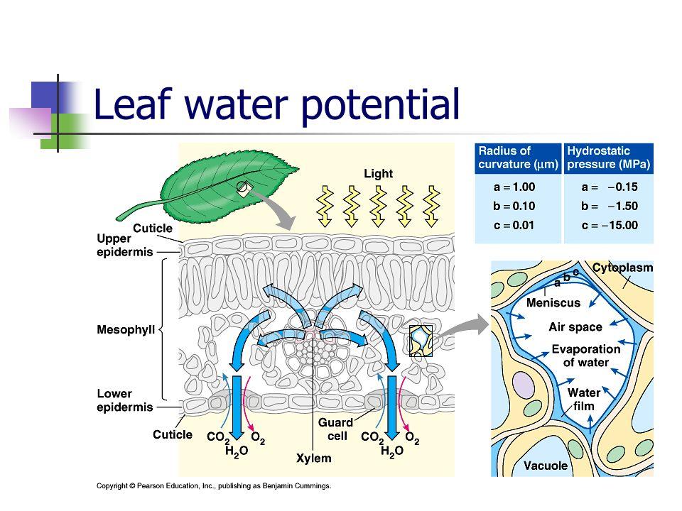 Leaf water potential