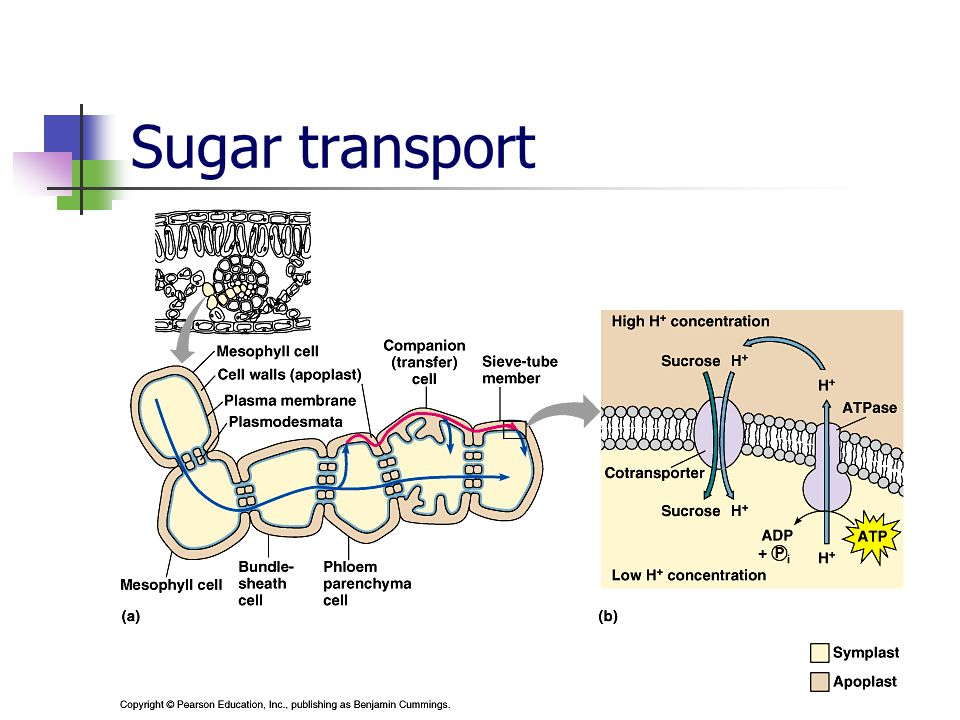 Sugar transport