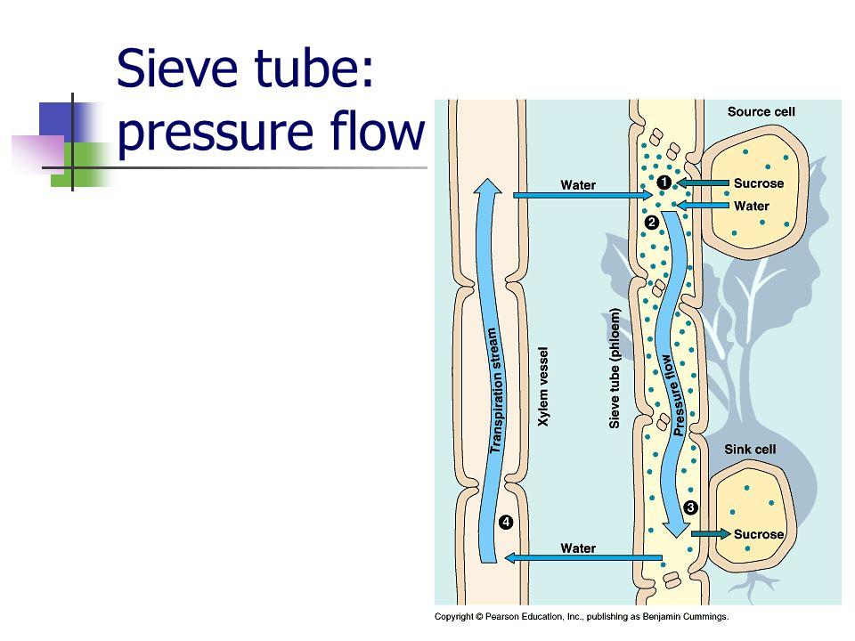 Sieve tube: pressure flow