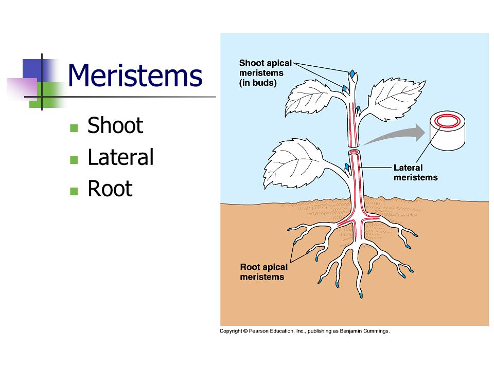 Meristems Shoot Lateral Root