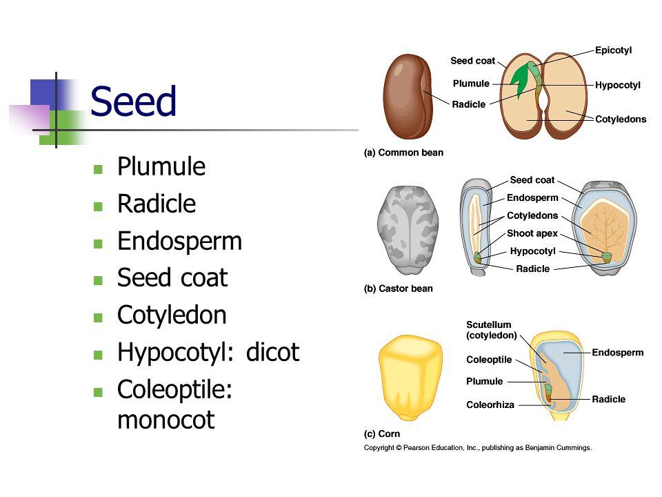 Seed Plumule Radicle Endosperm Seed coat Cotyledon Hypocotyl: dicot