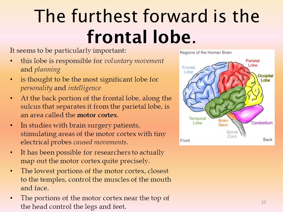 The furthest forward is the frontal lobe.