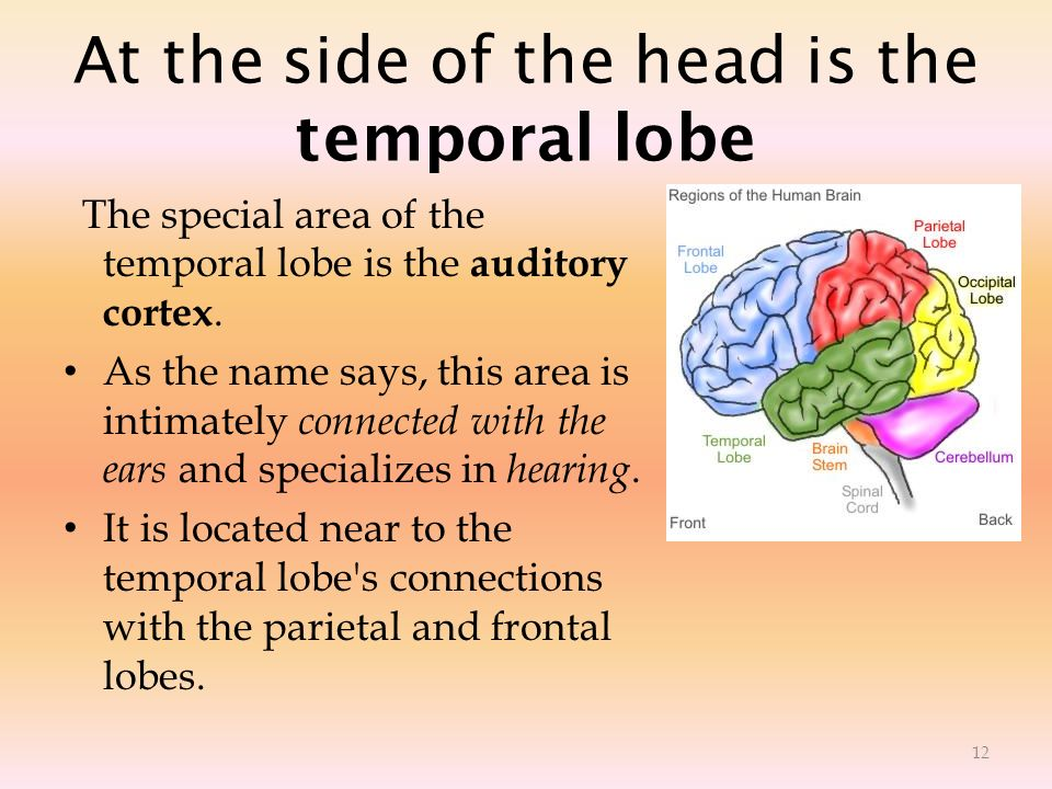 At the side of the head is the temporal lobe