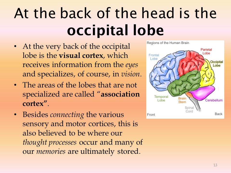 At the back of the head is the occipital lobe