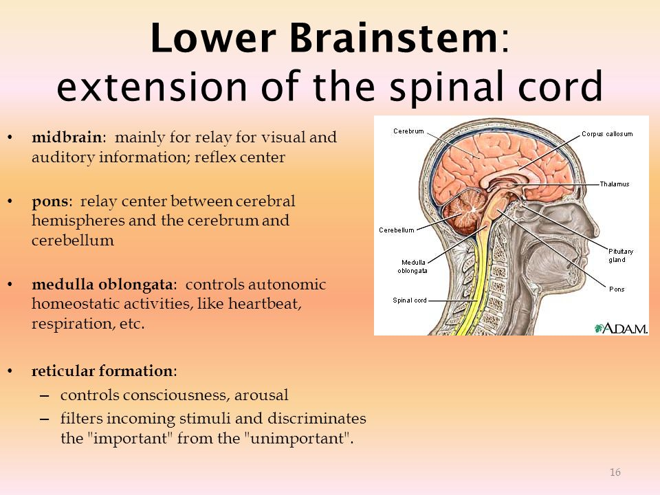 Lower Brainstem: extension of the spinal cord