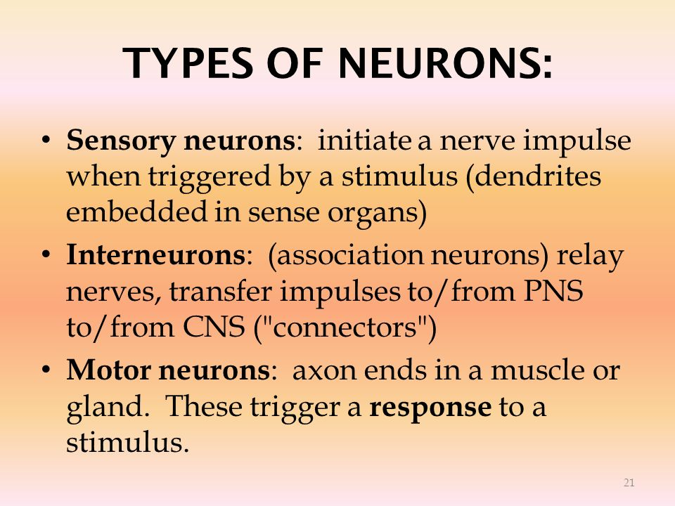 TYPES OF NEURONS:Sensory neurons: initiate a nerve impulse when triggered by a stimulus (dendrites embedded in sense organs)