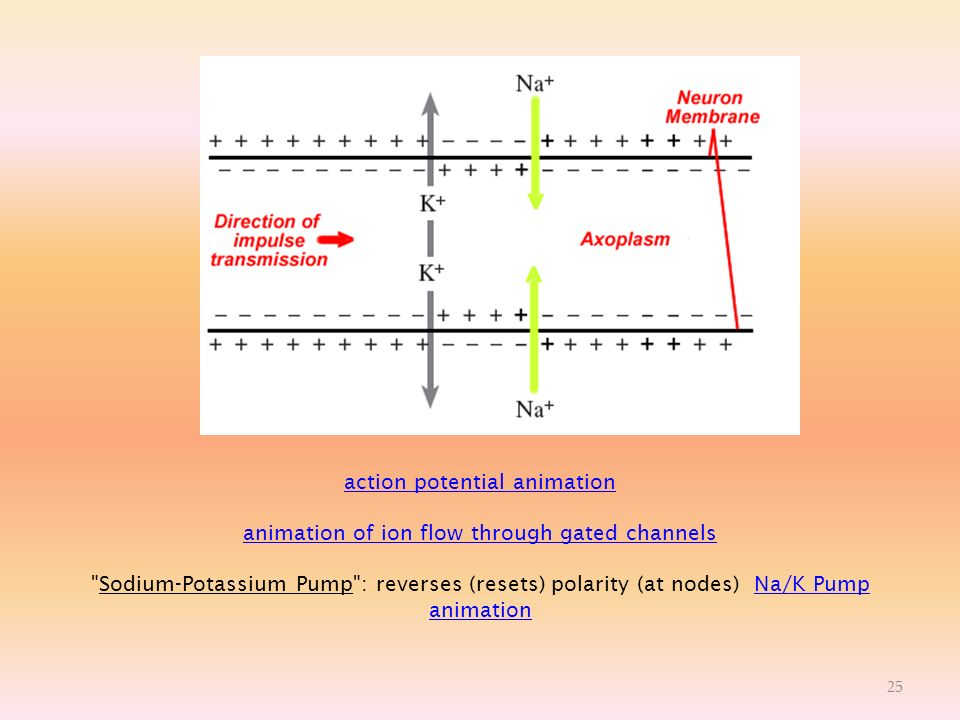 action potential animation animation of ion flow through gated channels Sodium-Potassium Pump : reverses (resets) polarity (at nodes) Na/K Pump animation