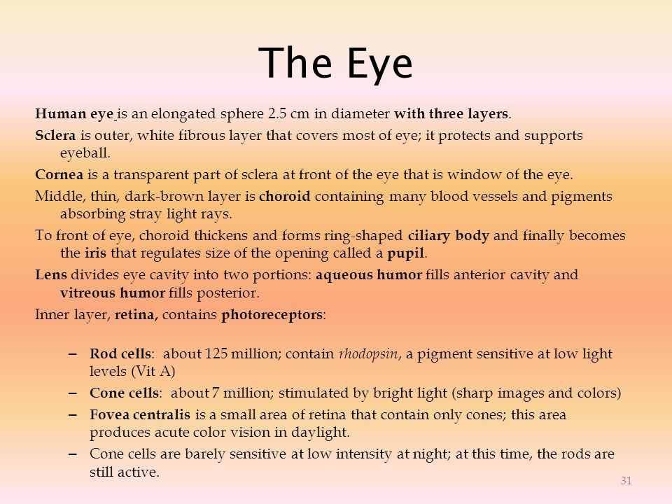 The Eye Human eye is an elongated sphere 2.5 cm in diameter with three layers.