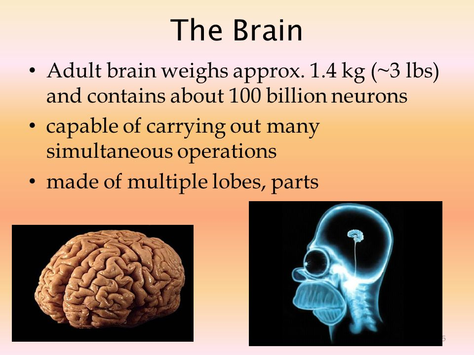 The Brain Adult brain weighs approx. 1.4 kg (~3 lbs) and contains about 100 billion neurons. capable of carrying out many simultaneous operations.