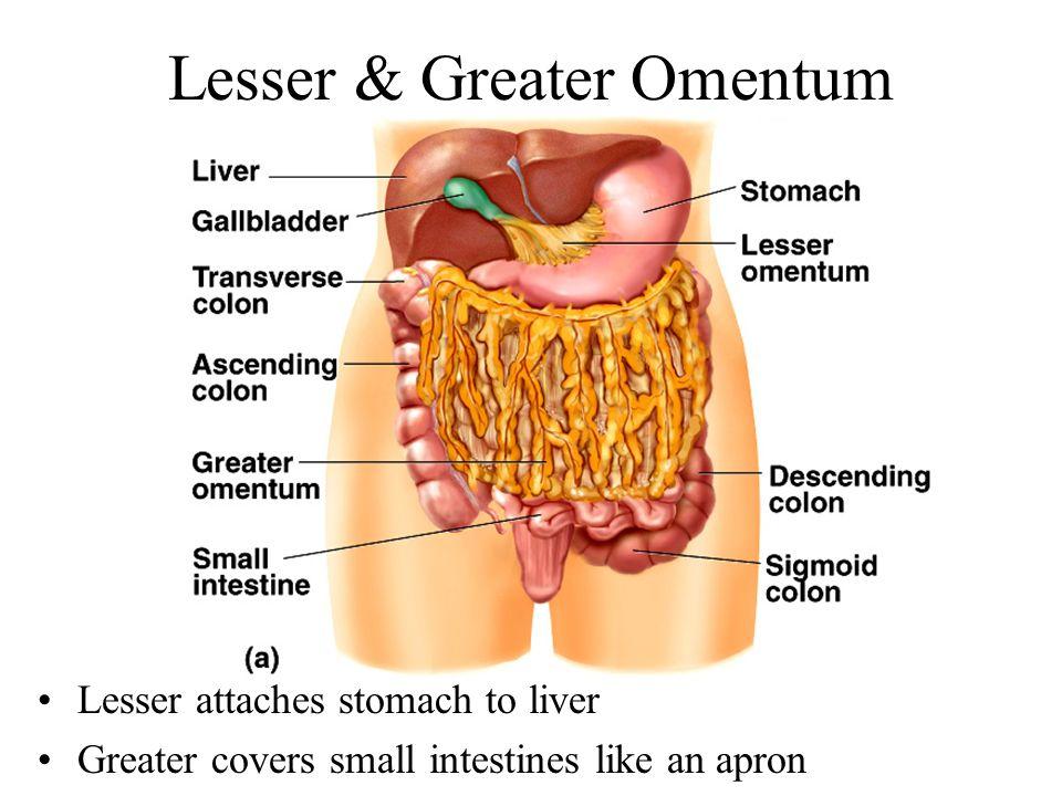 Lesser & Greater Omentum