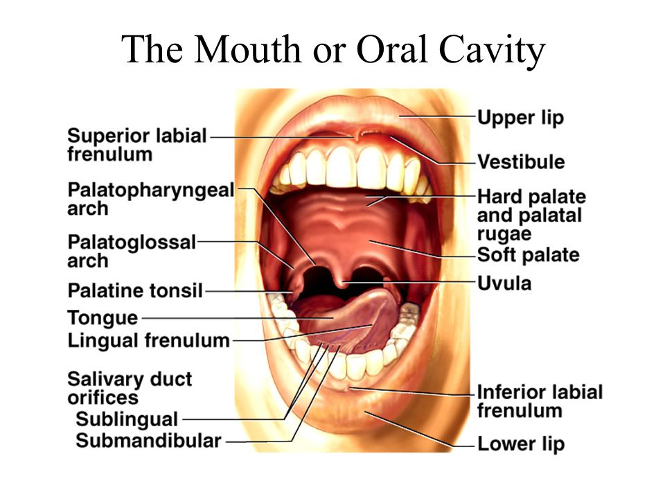The Mouth or Oral Cavity
