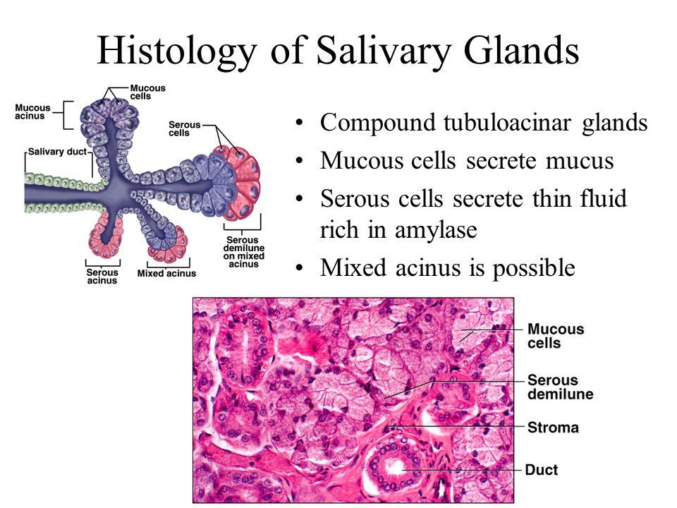 Histology of Salivary Glands