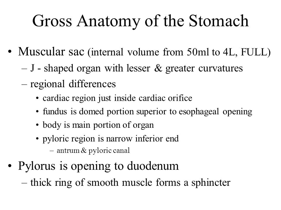 Gross Anatomy of the Stomach