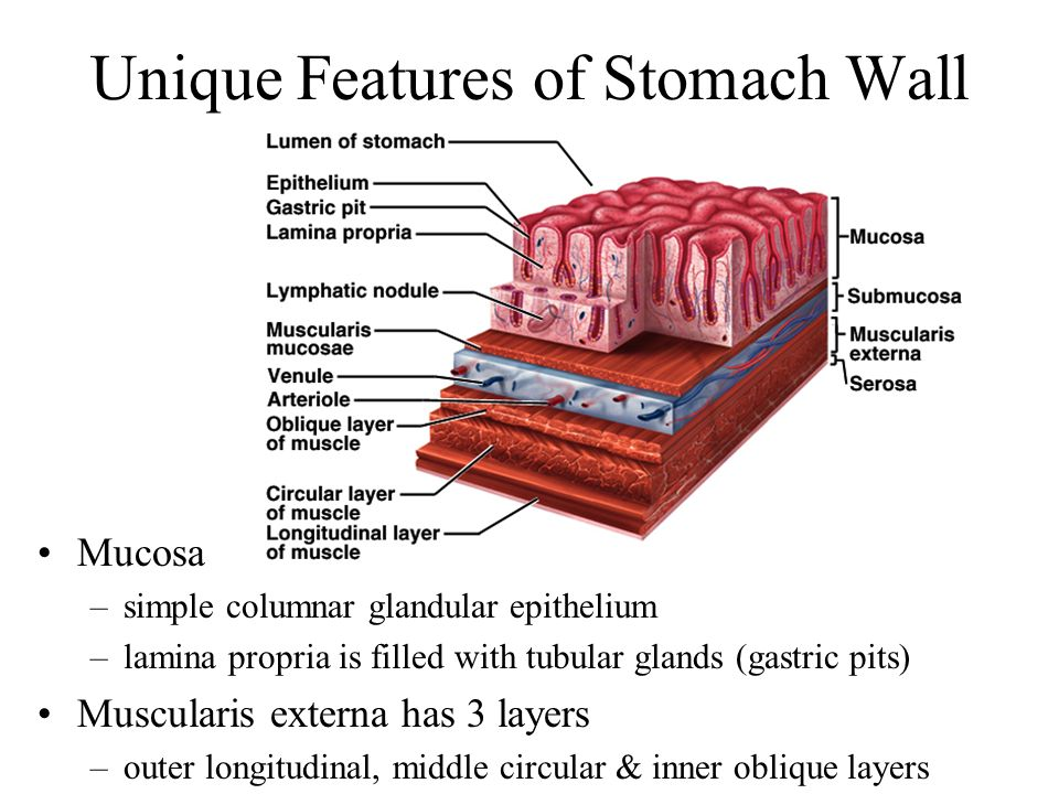 Unique Features of Stomach Wall
