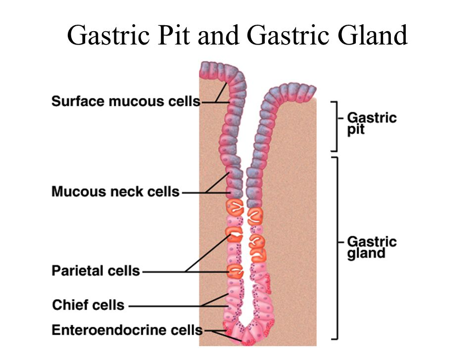 Gastric Pit and Gastric Gland